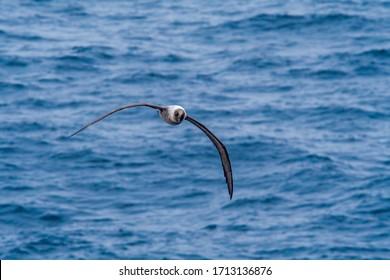 Light-mantled Albatross (Phoebetria palpebrata) in South Atlantic Ocean, Southern Ocean, Antarctica