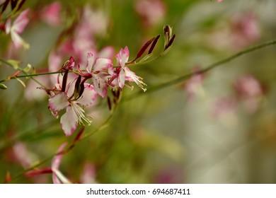 Lightness of an aerial pink gaura flower