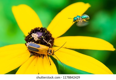 Lightning bug on yellow flower with hoover insect macro photography