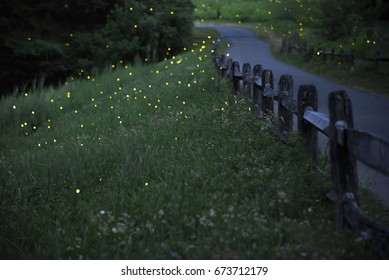 Lightning bugs also known as fireflies are seen along a foot path through the woods