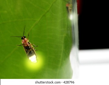 Lightning bugs(fireflies) in a jar-soft focused from diffusion through glass, enhanced with photoshop