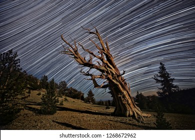 Lightpainted Bristlecone Pine Tree in the Forest