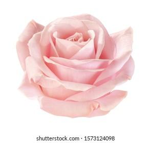 light-pink rose blossom on white background