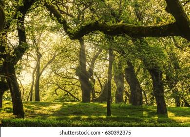 Lights and shadows on Santa Susana oak forest in Santiago de Compostela