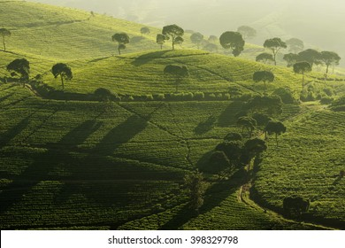 ligth and shadow Location Tea Plantation Pangalengan west java Indonesia