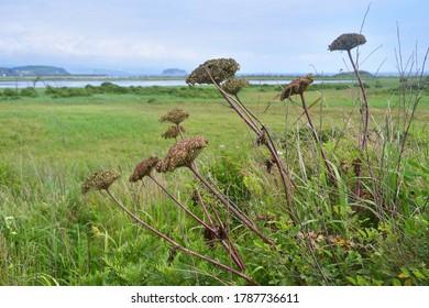 Ligusticum scoticum L. (family Apiaceae). The Scottish ligusticum on the shores of lake Akhlestyshev on the island of Russian. Russia, Vladivostok
