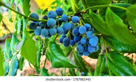 "Ligustrum vulgare. Poisonous fruit ""wolfberry"""