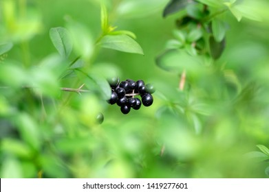 Ligustrum vulgare ripened black berries fruits, shrub branches with green leaves