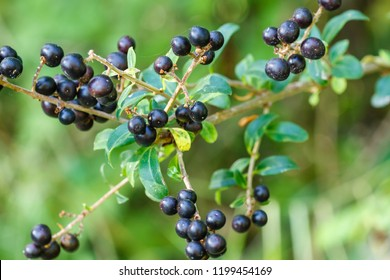 Ligustrum vulgare. Wild privet. Fruits of the forest.