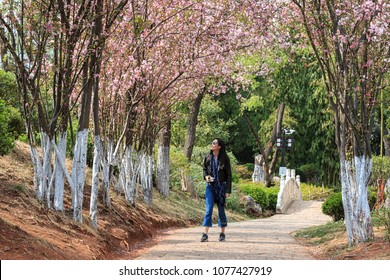 Lijiang, China - March 23, 2018: Attractive young Chinese woman walking under cherry trees in fool bloom in Lijiang, Yunnan - China