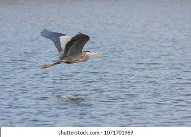 Like a dart flies through the open air, a great blue heron glides just above  blue lake water.  The heron has its wings upward, legs and neck extended outward and yellow eye focused ahead.