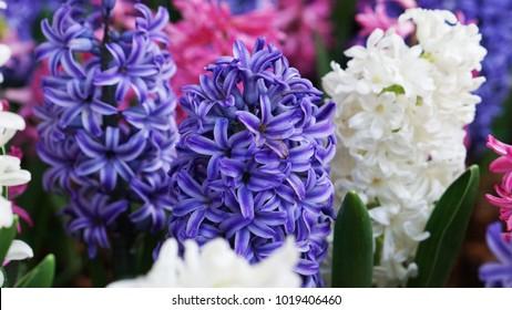 i like hyacinth