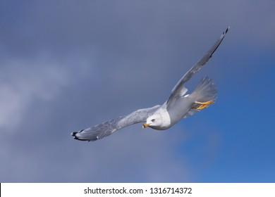 Like a missle soaring across the sky, a ring-billed gull aims itself at its prey below.