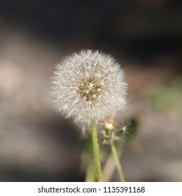 Like a small galaxy of its own the dandelion after blooming waiting for the wind to carry the seeds away