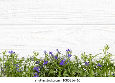 likttle blue flowers on the white wooden background.