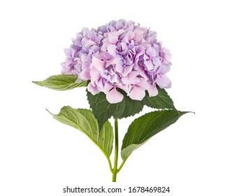 Lila Hortensia Hydrangea flowers isolated