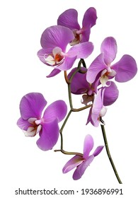 lila orchid Phalaenopsis close up