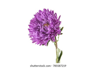 lilac aster isolated on white background
