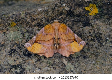 Lilac Beauty moth ( Apeira syringaria ) in the family Geometridae. Sitting on a rock with lichen.