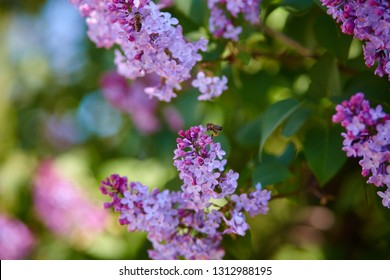 Lilac and bee. Lilacs or syringe and bee. Colorful purple lilacs blossoms with green leaves. Floral pattern. Lilac background texture. Lilac wallpaper. No sharpen.