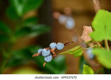 Lilac berries of a pink flowering currant