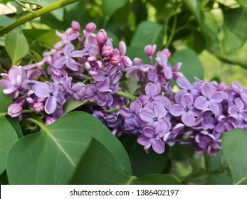 Lilac bloom in spring, romantic time