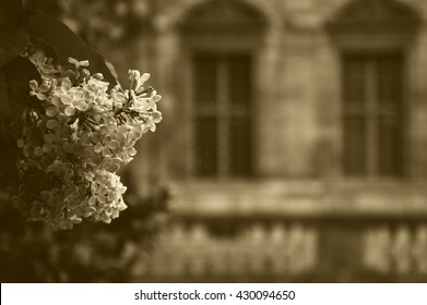 Lilac blooming in the garden of Hotel de Sully (historic monument) located in Marais quarter in Paris (France). Sepia toned photo.