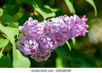 Lilac blossom flowers spring view. Spring lilac blossom bloom macro view. Spring lilac flowers macro. Macro lilac blossom
