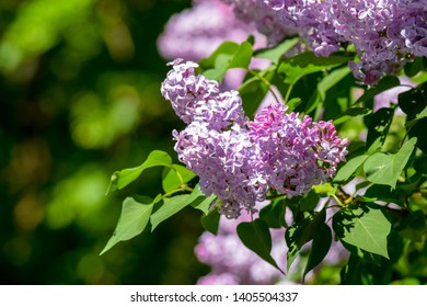 Lilac blossom in spring bloom. Spring lilac flowers