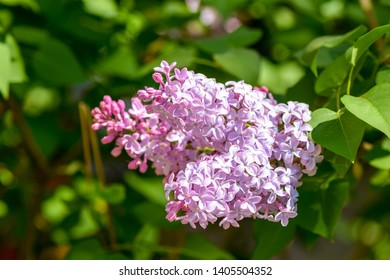 Lilac blossom in spring blooming. Spring lilac flowers