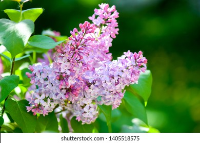 Lilac blossom in spring blooming. Spring lilac flowers in bloom. Lilac flowers
