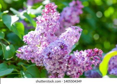 Lilac blossom in spring scene. Spring blooming lilac flowers. Lilac flowers