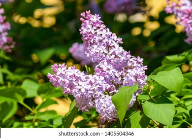 Lilac blossom in spring view