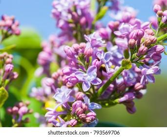 Lilac blossom tree. Spring time