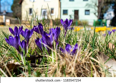 Lilac blossoms of crocuses (Colchicum autumnale) on a meadow in the sunshine in front of blurred houses.