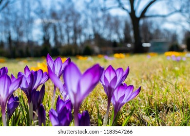 Lilac blossoms of crocuses (Colchicum autumnale) on a meadow in the sunshine.