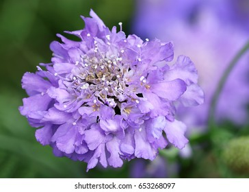 Lilac blue Garden Flower: Scabiosa Columbaria, Butterfly Blue (Pincushion Flower)