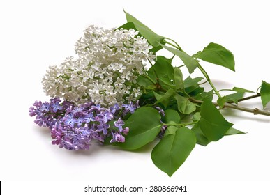 Lilac Bouquet in a white background