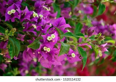 Lilac bracts of Bougainvillea on a summer day close up