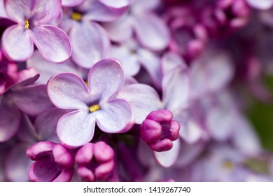 lilac branch. lilac flowers on the branch. lilac little lilac flowers. Macro concept