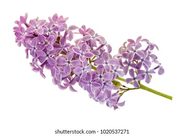 Lilac branch isolated on white background.