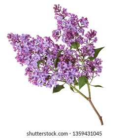 Lilac branch isolated on white background. Beautiful spring flowers