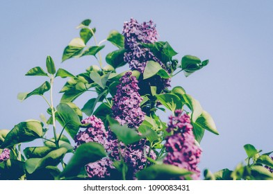 Lilac branch on blue sky background