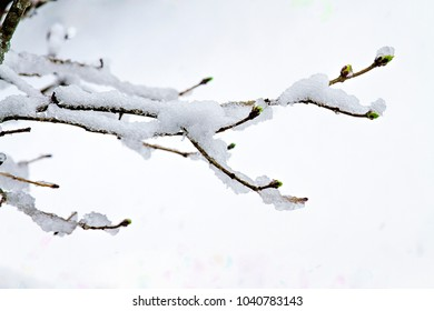 Lilac branches in the midst of snow storm.  Icy snow  clustered on tips.  Isolated on white background