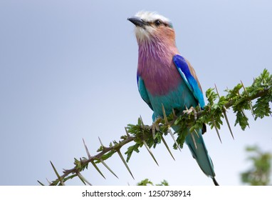 Lilac breasted Roller, Common bird in Africa.