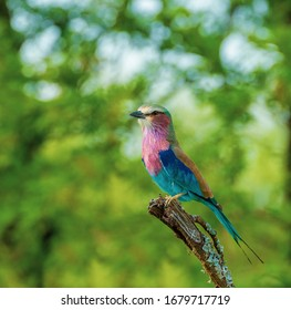 Lilac breasted roller on a branch