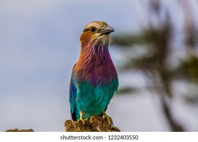 lilac breasted roller on a tree