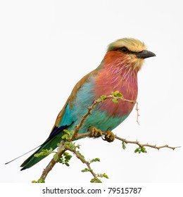 lilac breasted roller on white background