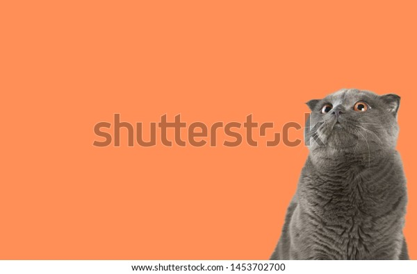 A lilac British cat looking up. The cat opened his mouth with a mad look. The concept of an animal that is surprised or amazed. The figure of a cat on an isolated background of coral color.          -