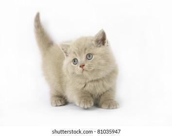 lilac  British kittens on white background